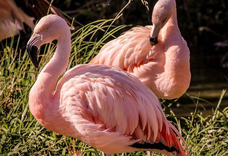 pink-flamingos